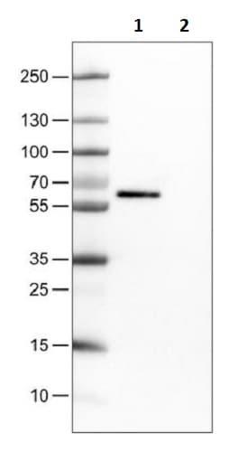 Western blot - Anti-Occludin antibody [CL1555] (ab242202)