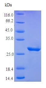 SDS-PAGE - Recombinant human IGFBP5 protein (Active) (ab242208)