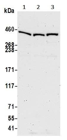 Western blot - Anti-Sacsin antibody (ab242224)