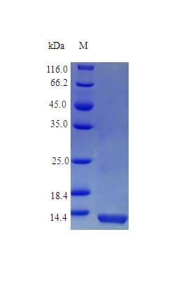 SDS-PAGE - Recombinant human Interferon alpha 2 protein (Active) (ab242326)