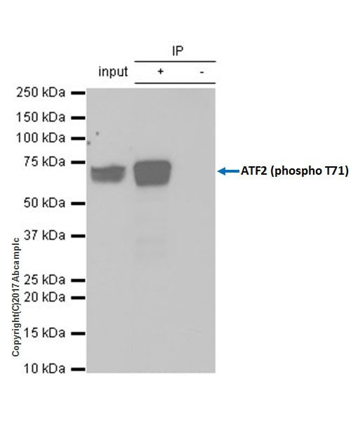 Immunoprecipitation - Anti-ATF2 (phospho T71) antibody [E268] - BSA and Azide free (ab242381)