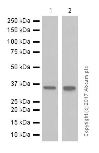 Western blot - Anti-Casein Kinase 1 alpha antibody [EPR1961(2)] - BSA and Azide free (ab242383)