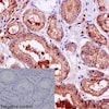 Immunohistochemistry (Formalin/PFA-fixed paraffin-embedded sections) - Anti-TMPRSS2 antibody [EPR3862] - BSA and Azide free (ab242384)