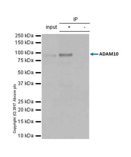 Immunoprecipitation - Anti-ADAM10 antibody [EPR5622] - BSA and Azide free (ab242389)