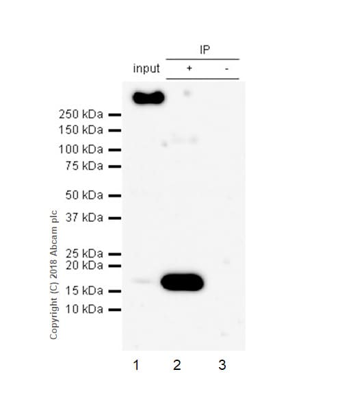 Immunoprecipitation - Anti-AP2S1 antibody [EPR2697(2)] - BSA and Azide free (ab242393)