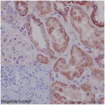 Immunohistochemistry (Formalin/PFA-fixed paraffin-embedded sections) - Anti-OATP5A1 antibody [EPR14395(2)] - BSA and Azide free (ab242407)