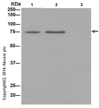 Immunoprecipitation - Anti-HADHA antibody [EPR17939] - BSA and Azide free (ab242411)