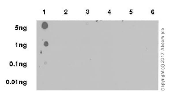 Dot Blot - Anti-Histone H3 (citrulline R26) antibody [EPR20606] - BSA and Azide free (ab242414)