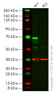 Western blot - Anti-PAK1 antibody [EPR20048] - BSA and Azide free (ab242421)
