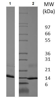 SDS-PAGE - Recombinant Human EG-VEGF protein (Animal Free) (ab242435)