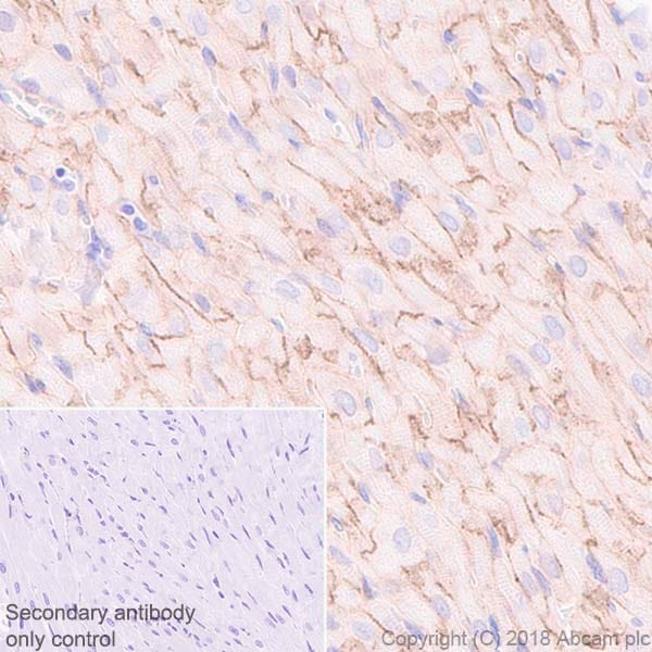 Immunohistochemistry (Formalin/PFA-fixed paraffin-embedded sections) - Anti-Endothelin A Receptor/ET-A antibody [UMB-8-37-1] - BSA and Azide free (ab242440)