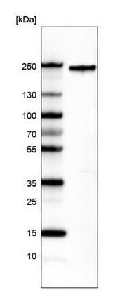 Western blot - Anti-Integrin alpha 1 antibody [CL7217] (ab243033)