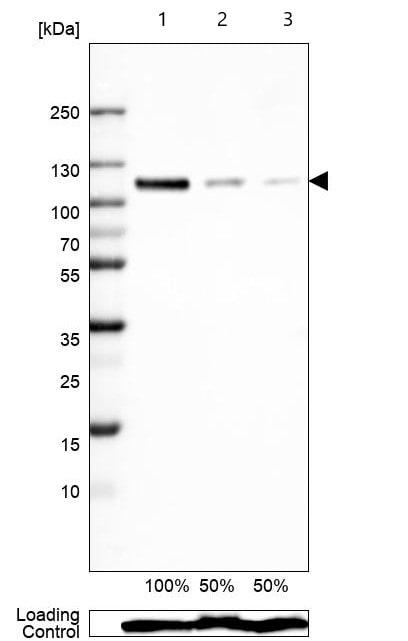 Western blot - Anti-Sortilin/NT3 antibody [CL6526] (ab243043)