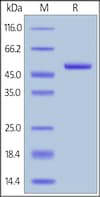 SDS-PAGE - Recombinant human APRIL/TNFSF13 protein (Active) (ab243049)