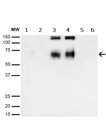 Western blot - Anti-6-Nitrotryptophan antibody [2D12] (ab243065)