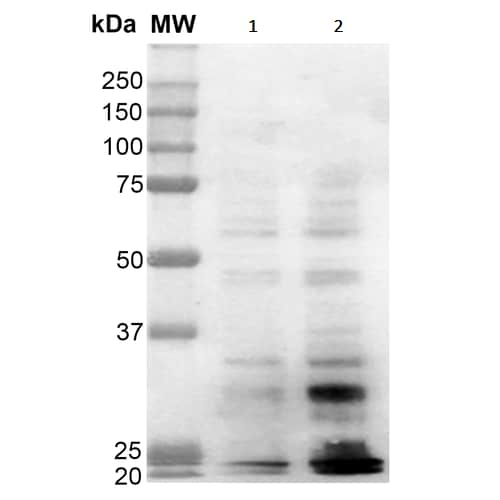 Western blot - Anti-Dityrosine antibody [10A6] (ab243067)
