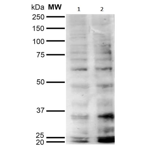 Western blot - Anti-HEL antibody [5E8] (ab243073)