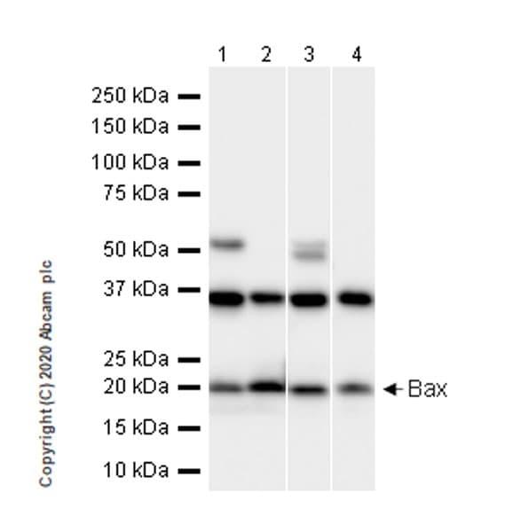 Western blot - Anti-Bax antibody [21C10] (ab243140)
