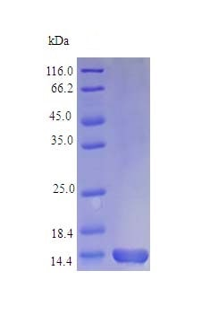 SDS-PAGE - Recombinant human CCL3L1 protein (Active) (ab243157)
