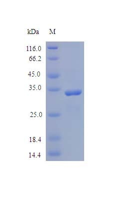 SDS-PAGE - Recombinant human SPARC protein (Active) (ab243161)