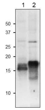 Western blot - Anti-Ferredoxin-1, chloroplastic antibody (ab243177)
