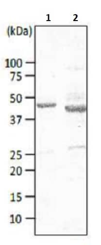 Western blot - Anti-Major outer membrane protein antibody [cj-01] (ab243190)