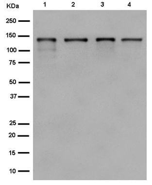 Western blot - Anti-Ctip2 antibody [EPR12275(2)] - BSA and Azide free (ab243191)