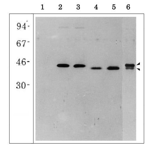 Western blot - Anti-Glutamate-ammonia ligase antibody (ab243208)