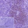 Immunohistochemistry (Formalin/PFA-fixed paraffin-embedded sections) - Anti-CD28 antibody [EPR22076] (ab243228)