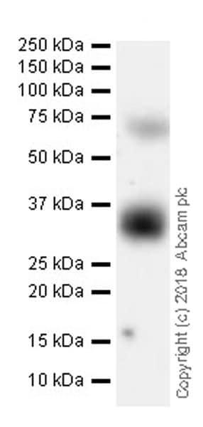 Western blot - Anti-BST2/Tetherin antibody [EPR20202-150] (ab243230)