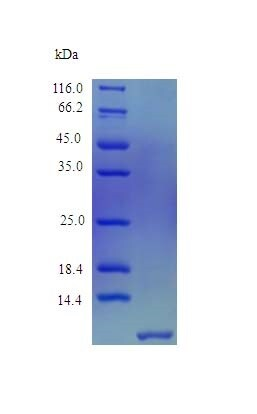 SDS-PAGE - Recombinant human FAM19A2 protein (Active) (ab243251)