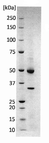 SDS-PAGE - Recombinant Mayaro Virus VLP protein (ab243284)