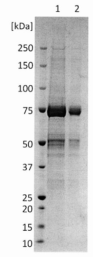 SDS-PAGE - Recombinant Chikungunya Virus protein (Fc Chimera) (ab243285)