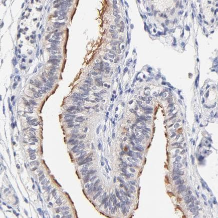 Immunohistochemistry (Formalin/PFA-fixed paraffin-embedded sections) - Anti-RIBC2 antibody (ab243330)