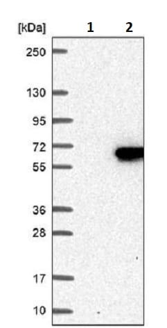 Western blot - Anti-FAM126A antibody (ab243479)