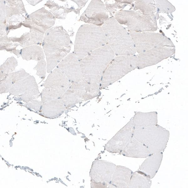Immunohistochemistry (Formalin/PFA-fixed paraffin-embedded sections) - Anti-Vgl4 antibody (ab243518)