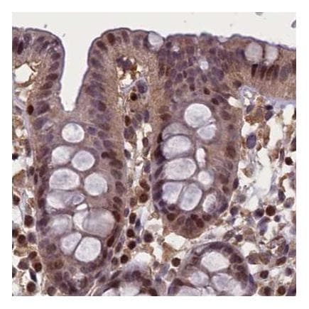 Immunohistochemistry (Formalin/PFA-fixed paraffin-embedded sections) - Anti-NUBP1 antibody (ab243521)
