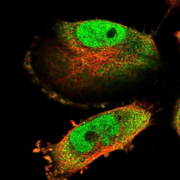 Immunocytochemistry/ Immunofluorescence - Anti-C15orf52 antibody (ab243542)