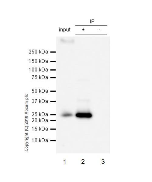 Immunoprecipitation - Anti-RAB8A antibody [MJF-R22-79-3] - BSA and Azide free (ab243568)
