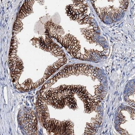 Immunohistochemistry (Formalin/PFA-fixed paraffin-embedded sections) - Anti-MED13L antibody (ab243590)
