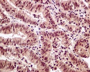 Immunohistochemistry (Formalin/PFA-fixed paraffin-embedded sections) - Anti-SRC3 antibody [EPR4374(3)] - BSA and Azide free (ab243600)
