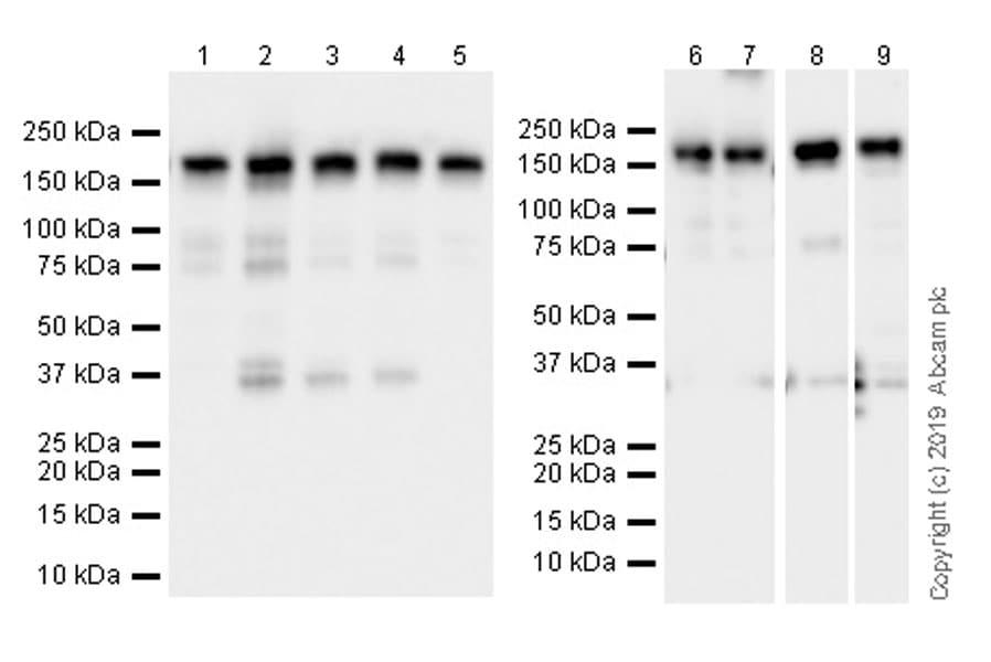 Western blot - Anti-BAF170 antibody [EPR23066-21] (ab243634)