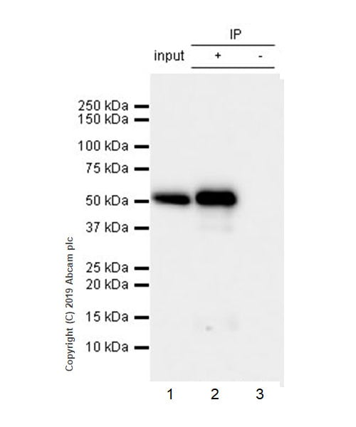 Immunoprecipitation - Anti-Carbonic Anhydrase 9/CA9 antibody [EPR23055-5] (ab243660)