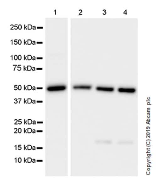 Western blot - Anti-Carbonic Anhydrase 9/CA9 antibody [EPR23055-5] (ab243660)