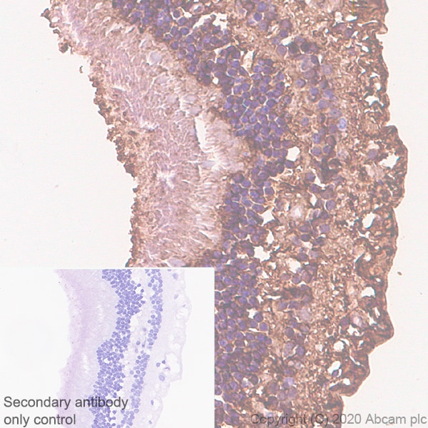 Immunohistochemistry (Formalin/PFA-fixed paraffin-embedded sections) - Anti-CRALBP antibody [EPR23448-119] (ab243664)