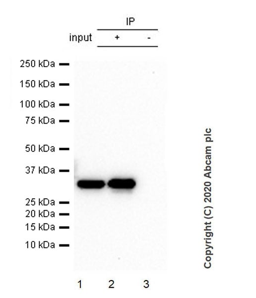 Immunoprecipitation - Anti-CRALBP antibody [EPR23448-119] (ab243664)