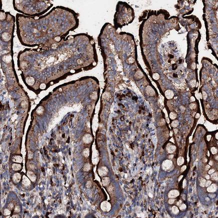 Immunohistochemistry (Formalin/PFA-fixed paraffin-embedded sections) - Anti-P2X4 antibody (ab243734)