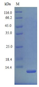 SDS-PAGE - Recombinant mouse CXCL2 protein (Active) (ab243752)