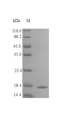 SDS-PAGE - Recombinant human IL-1ra/IL-1F3 protein (Active) (ab243764)