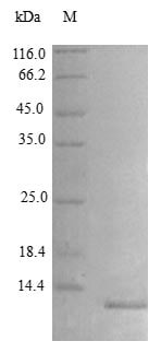 SDS-PAGE - Recombinant rat IP10 protein (Active) (ab243765)